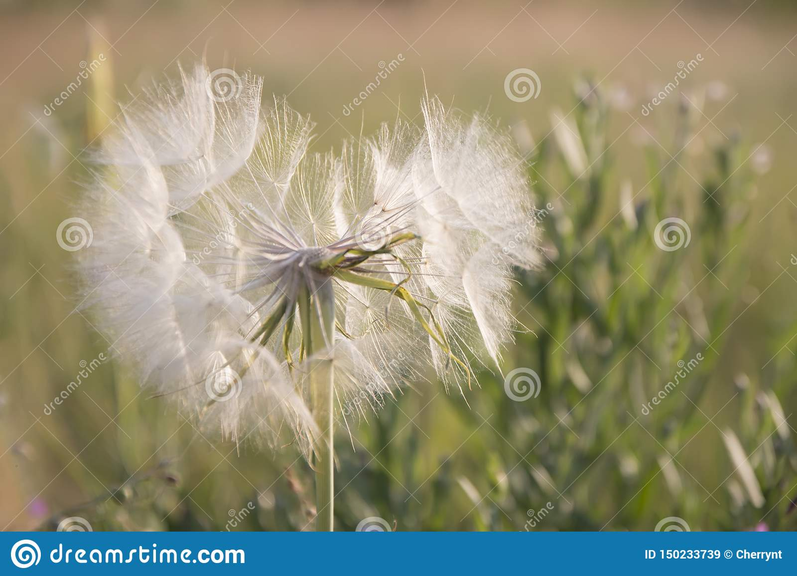 Flying dandelion, in the form of a heart in a meadow