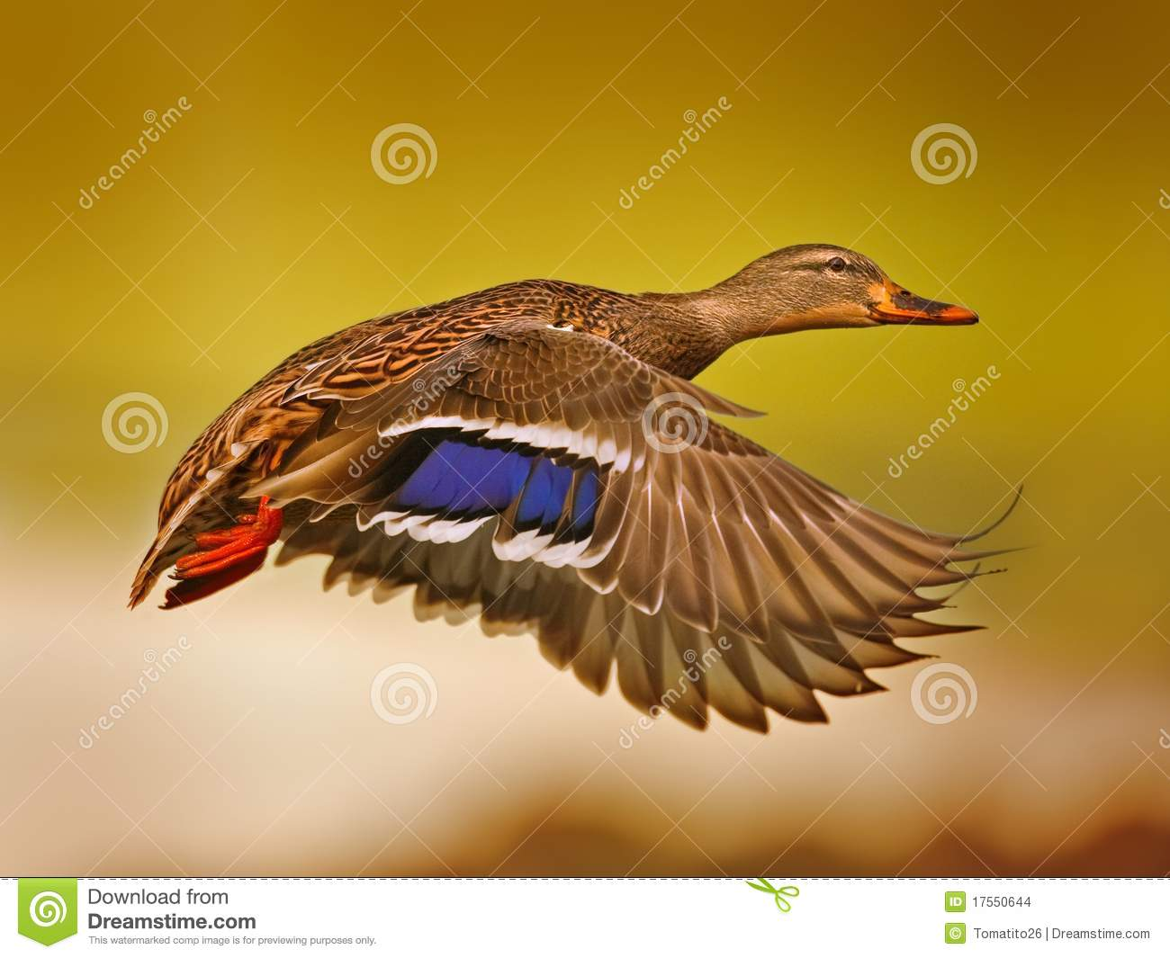 Flying Birds Free Stock Photos Download 3 416 Free Stock: Flying Duck Stock Photo. Image Of Wildlife, Bokeh, Orange