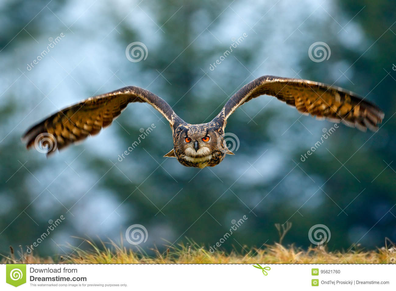 Flying Eurasian Eagle Owl With Open Wings With Snow Flake In Snowy