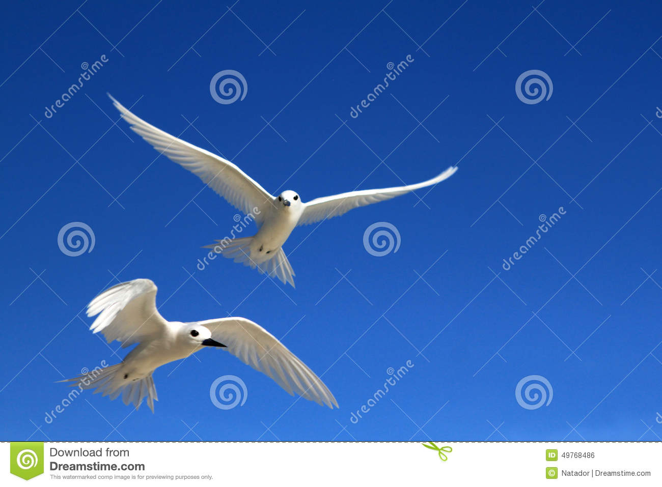 Flying Fairy Tern Bird