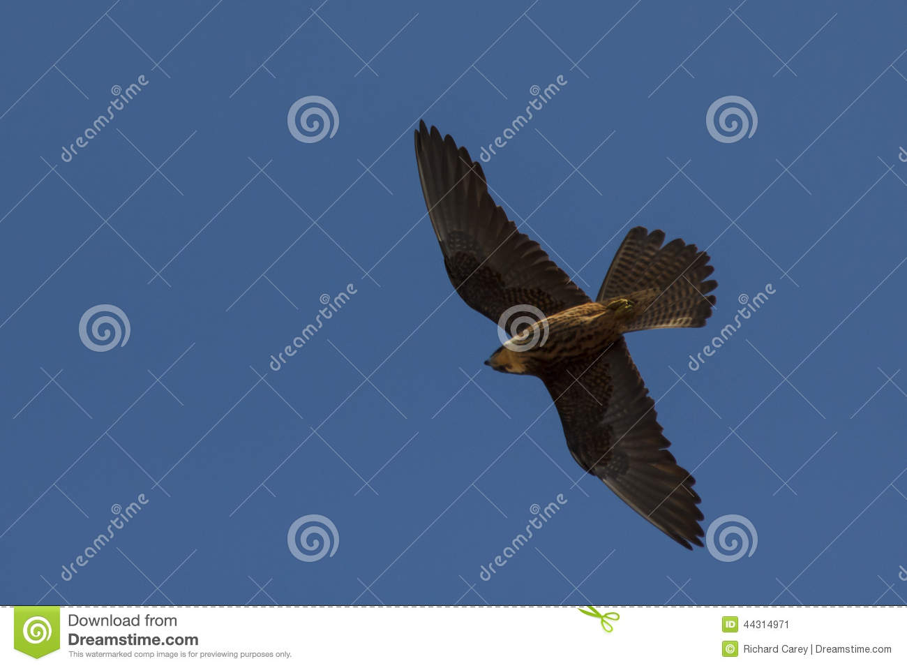 Flying Falcon Stock Photo - Image: 44314971