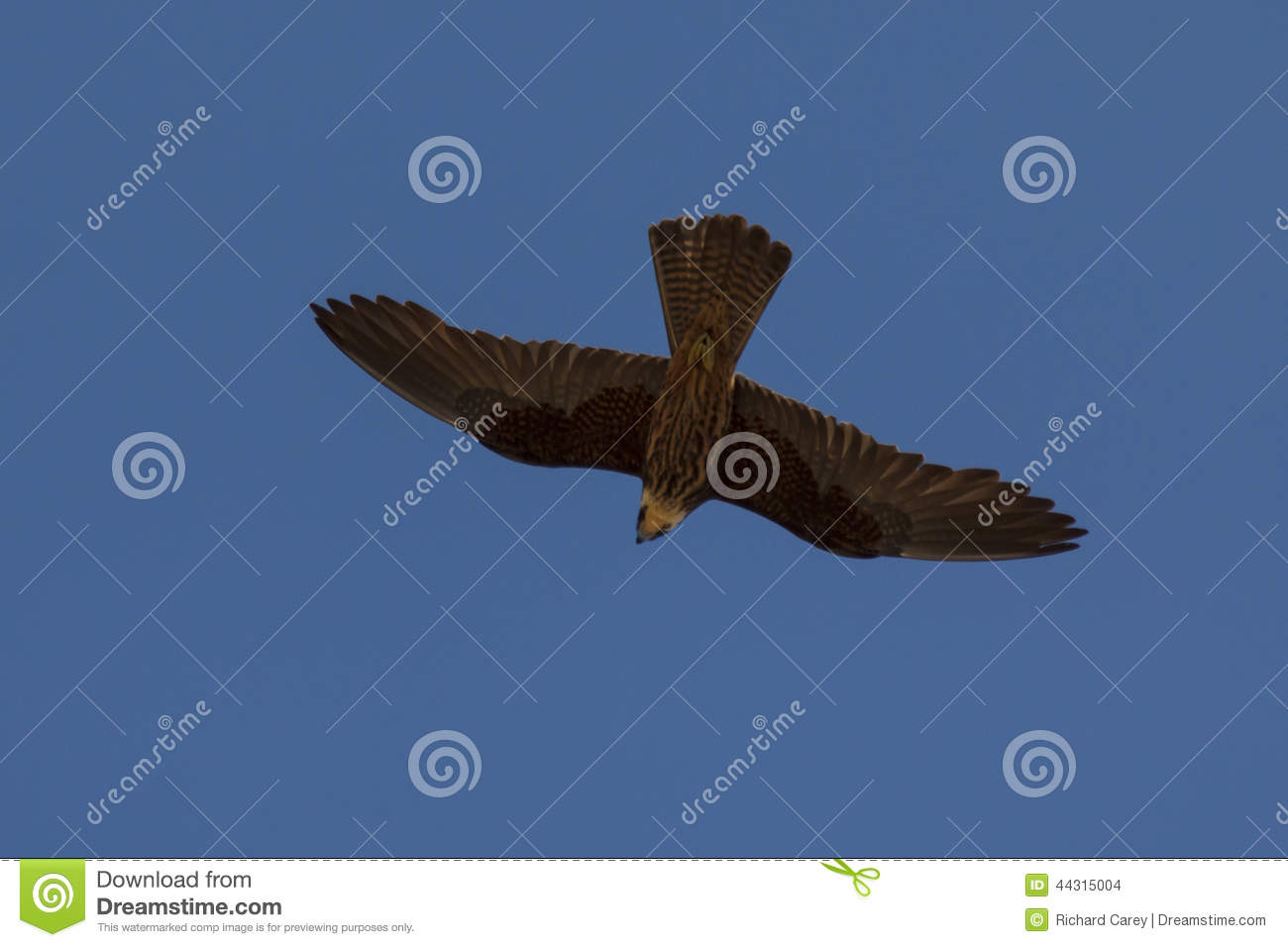 Flying Falcon Stock Photo - Image: 44315004