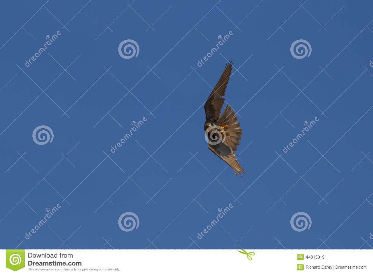 Flying Falcon Stock Photo - Image: 44315019