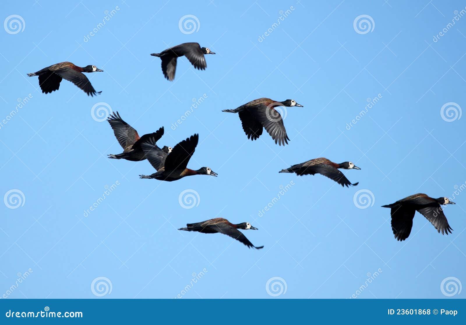 Flying Flock of Ducks stock photo. Image of beauty ...   1300 x 925 jpeg 76kB