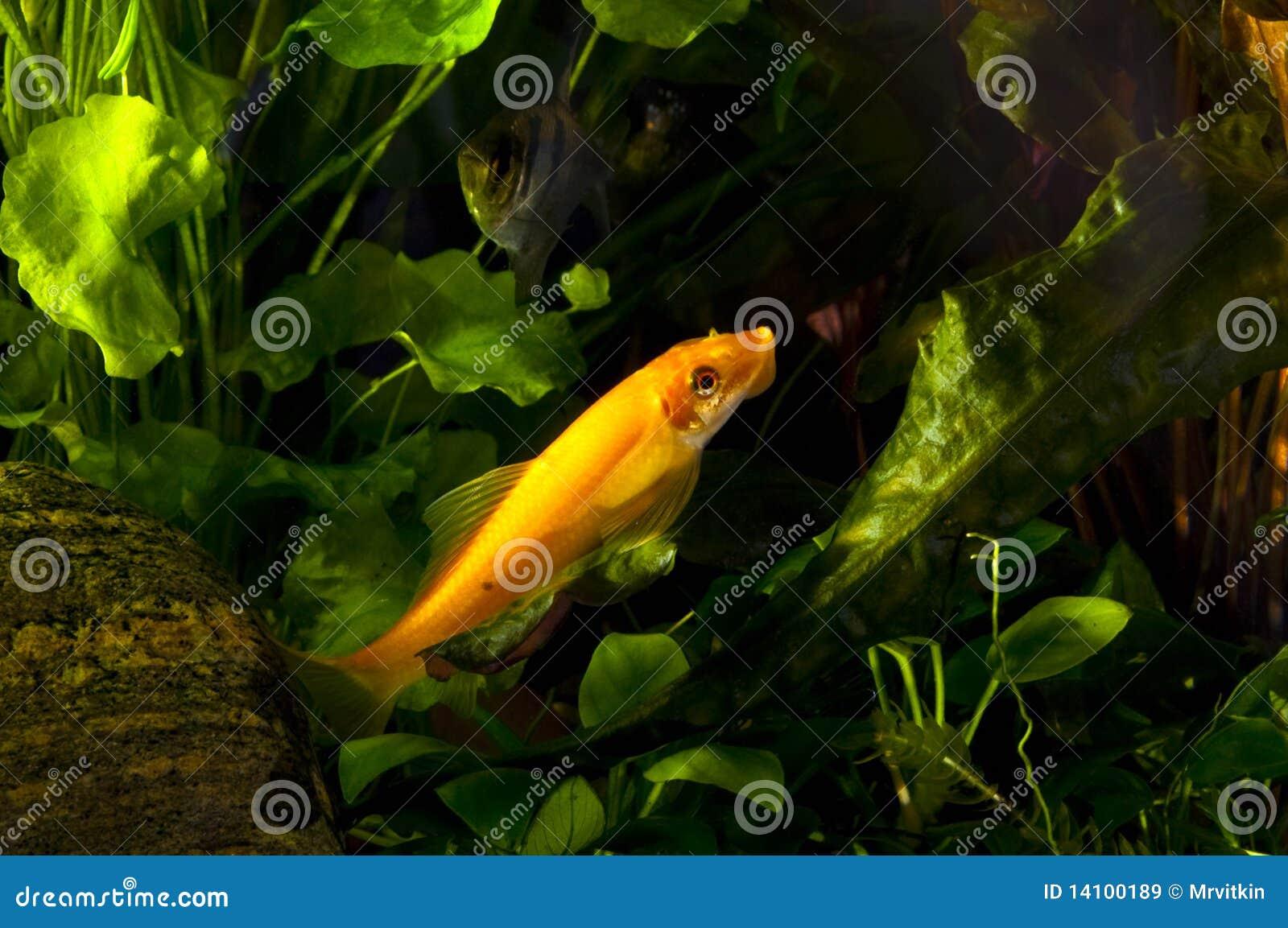 Flying fox fresh water aquarium fish royalty free stock for Flying fox fish