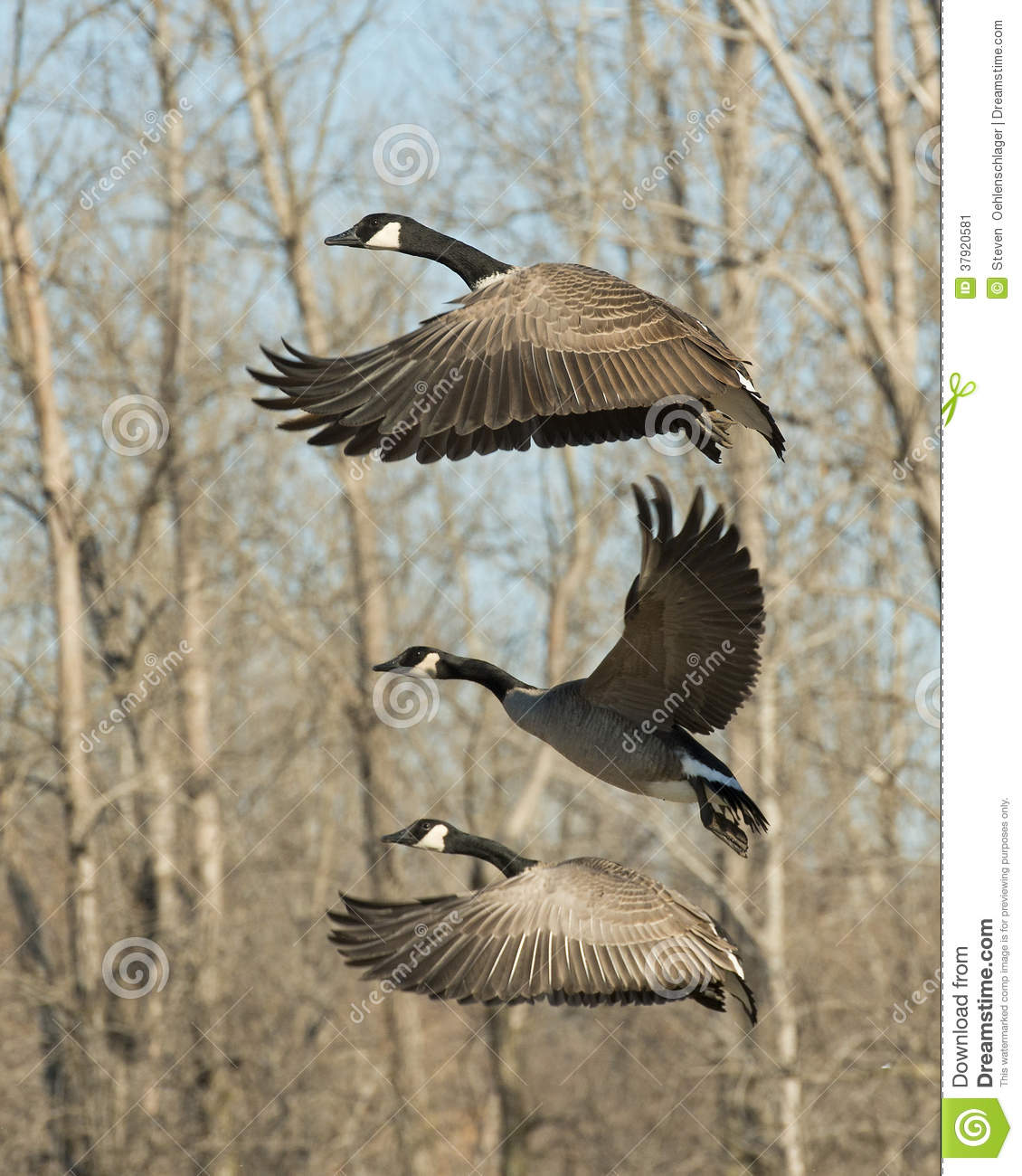 00a388ad6a Flying Geese stock image. Image of canada, winter, hunting - 37920581