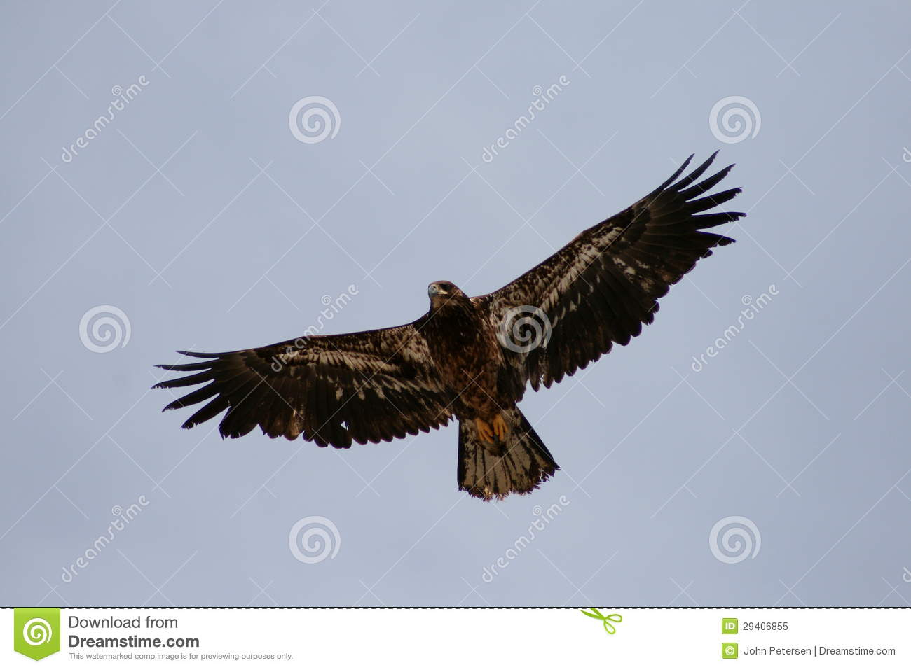 Flying Golden Eagle Royalty Free Stock Photo - Image: 29406855