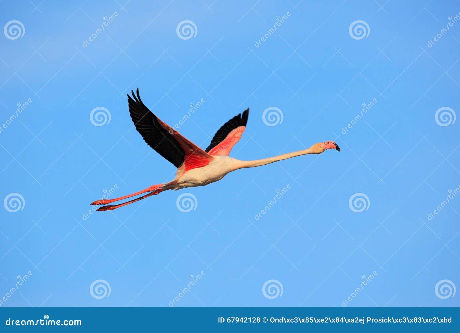 Aninimal Book: Flying Greater Flamingo, Phoenicopterus Ruber, Pink Big ...