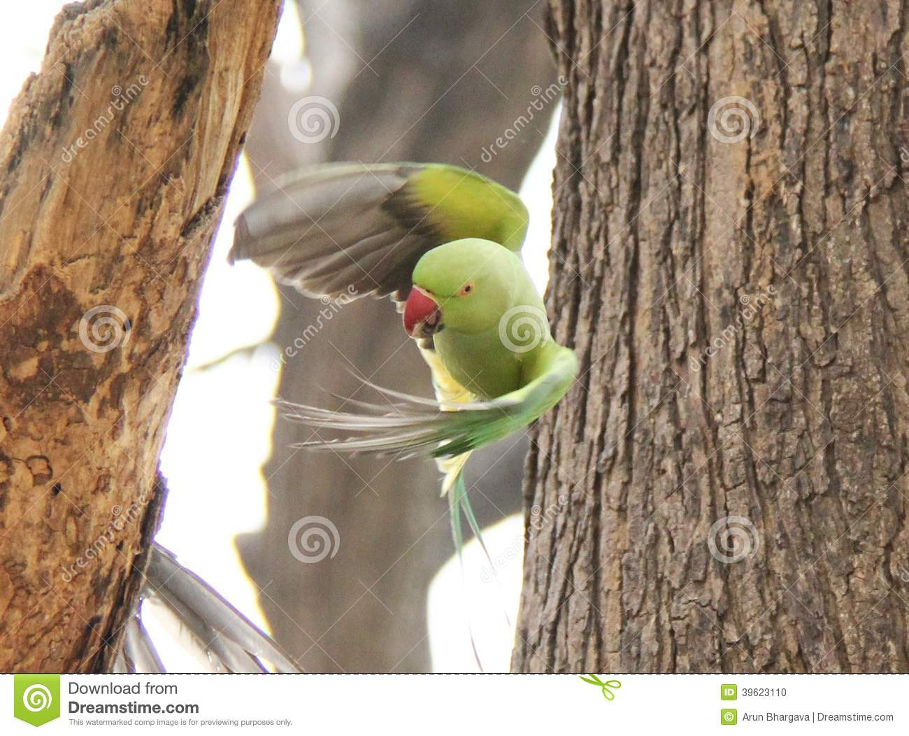 Astrology Question - Sagittarius Flying-green-parrot-indian-red-neck-ring-takes-off-tree-branch-39623110