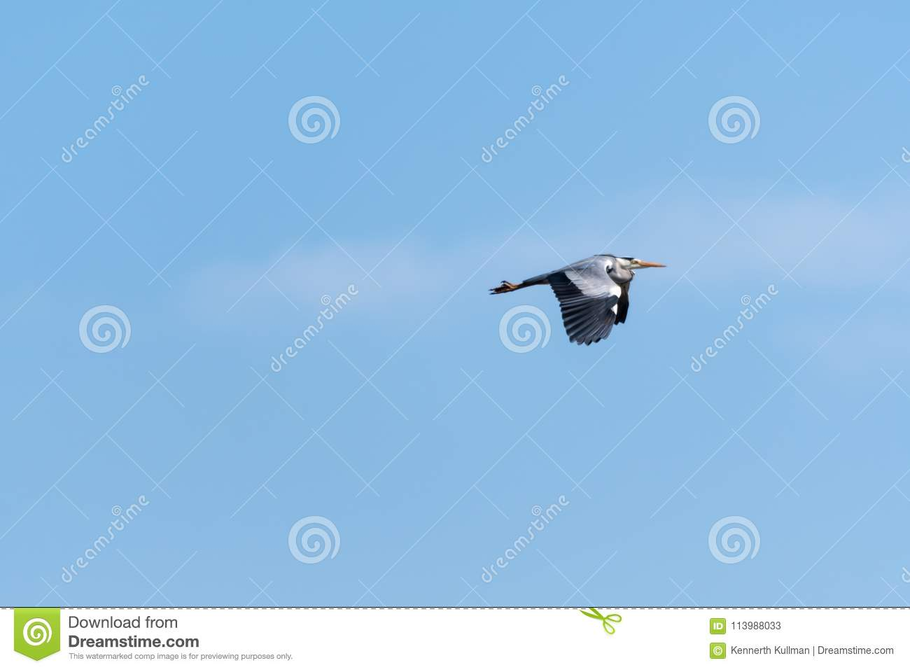Flying Grey Heron by a blue sky