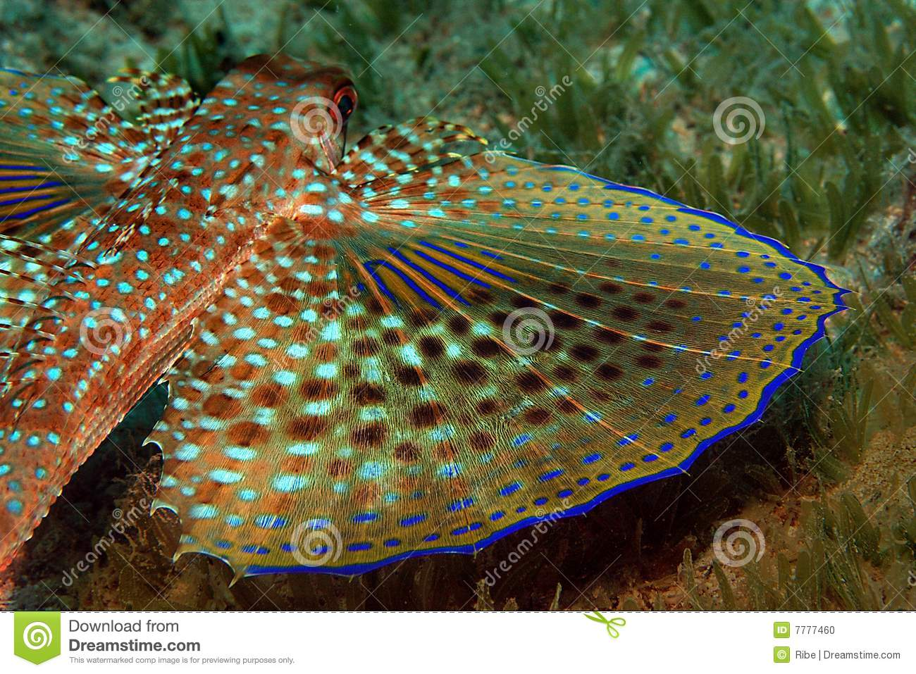 Flying gurnard fish stock photo image of photography for Fish and wings