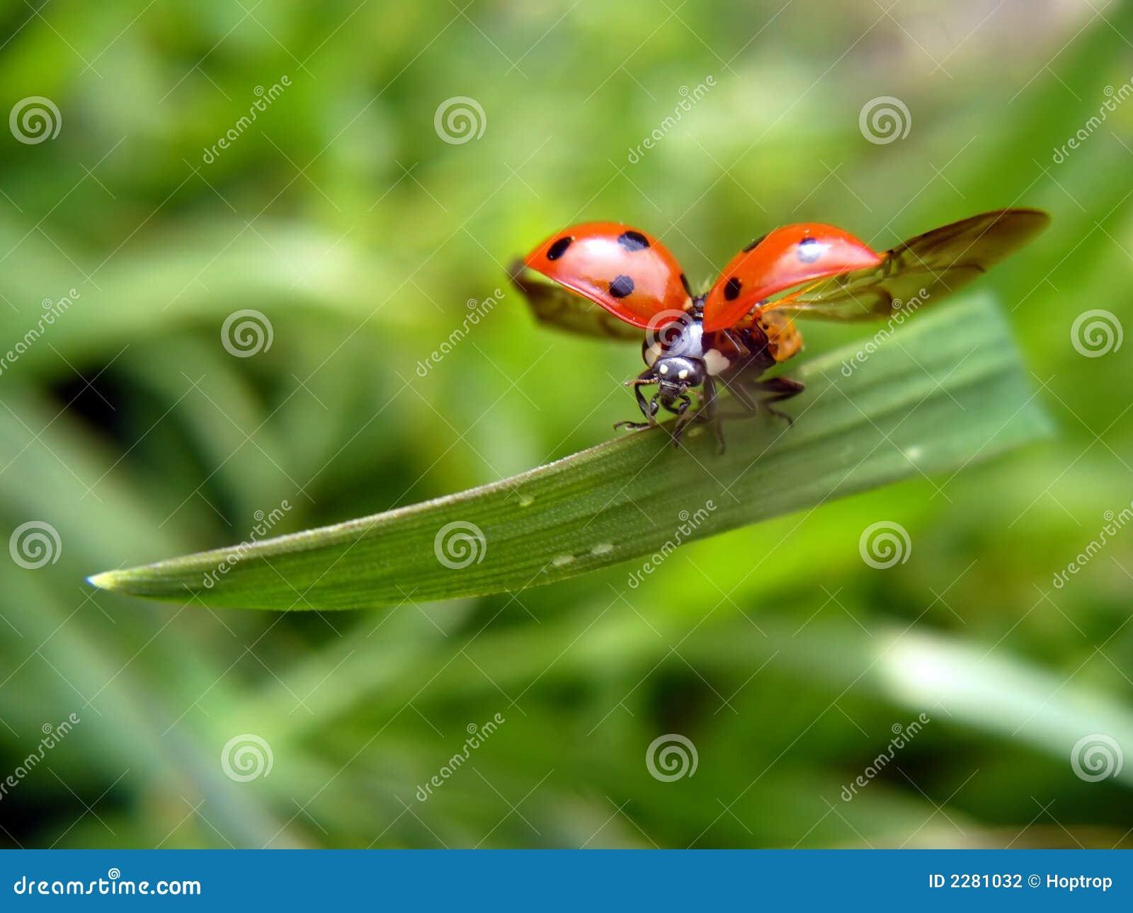 Flying ladybird