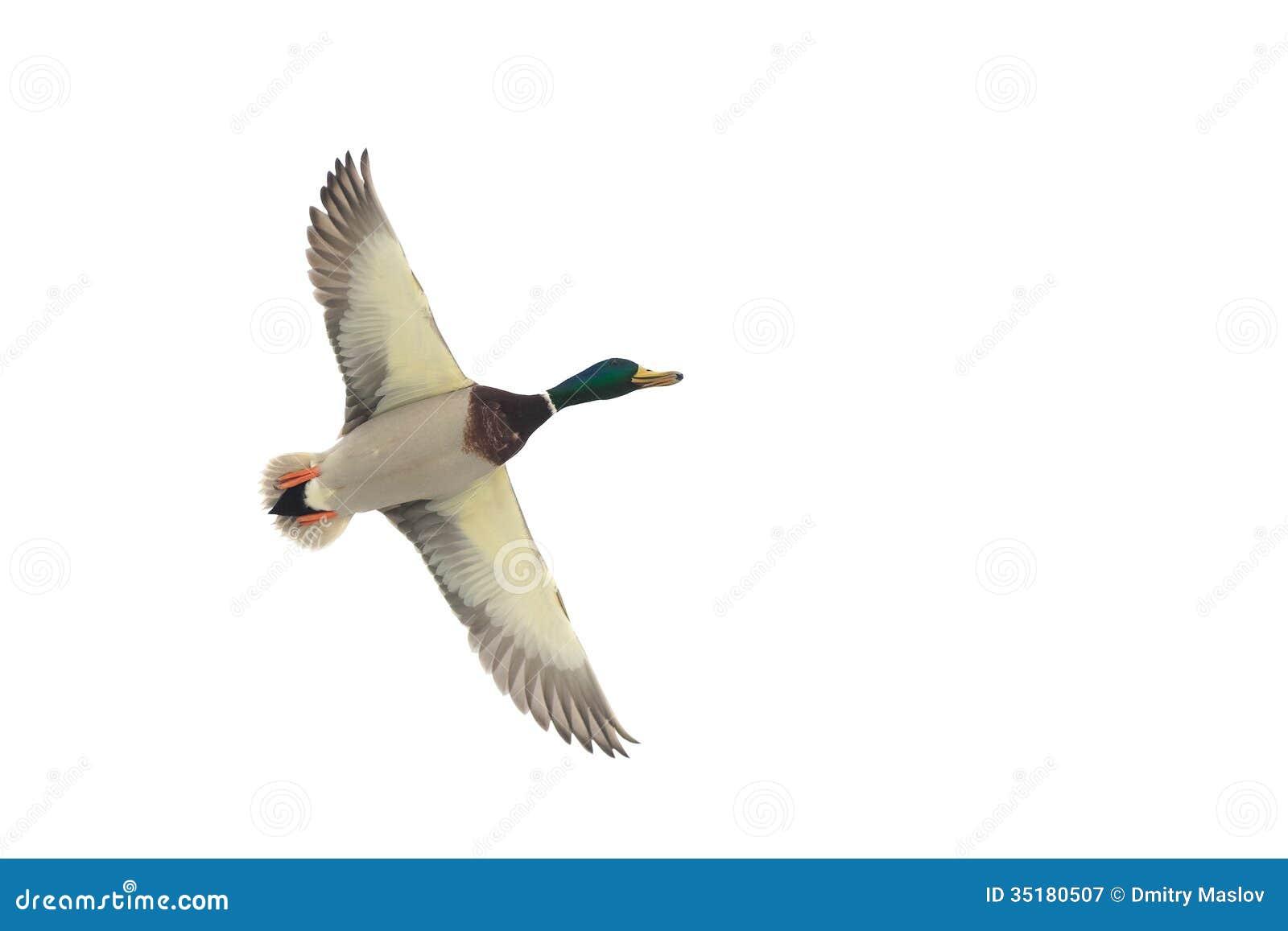 A Flying Mallard Duck Stock Photo 35180507 Megapixl