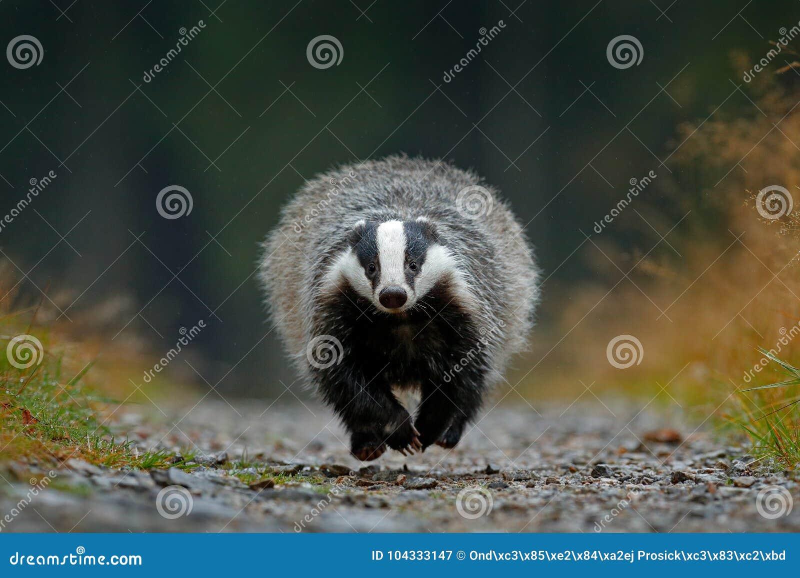 Flying mammal. Badger in forest, animal nature habitat, Germany, Europe. Wildlife scene. Wild Badger, Meles meles, wood road. Euro