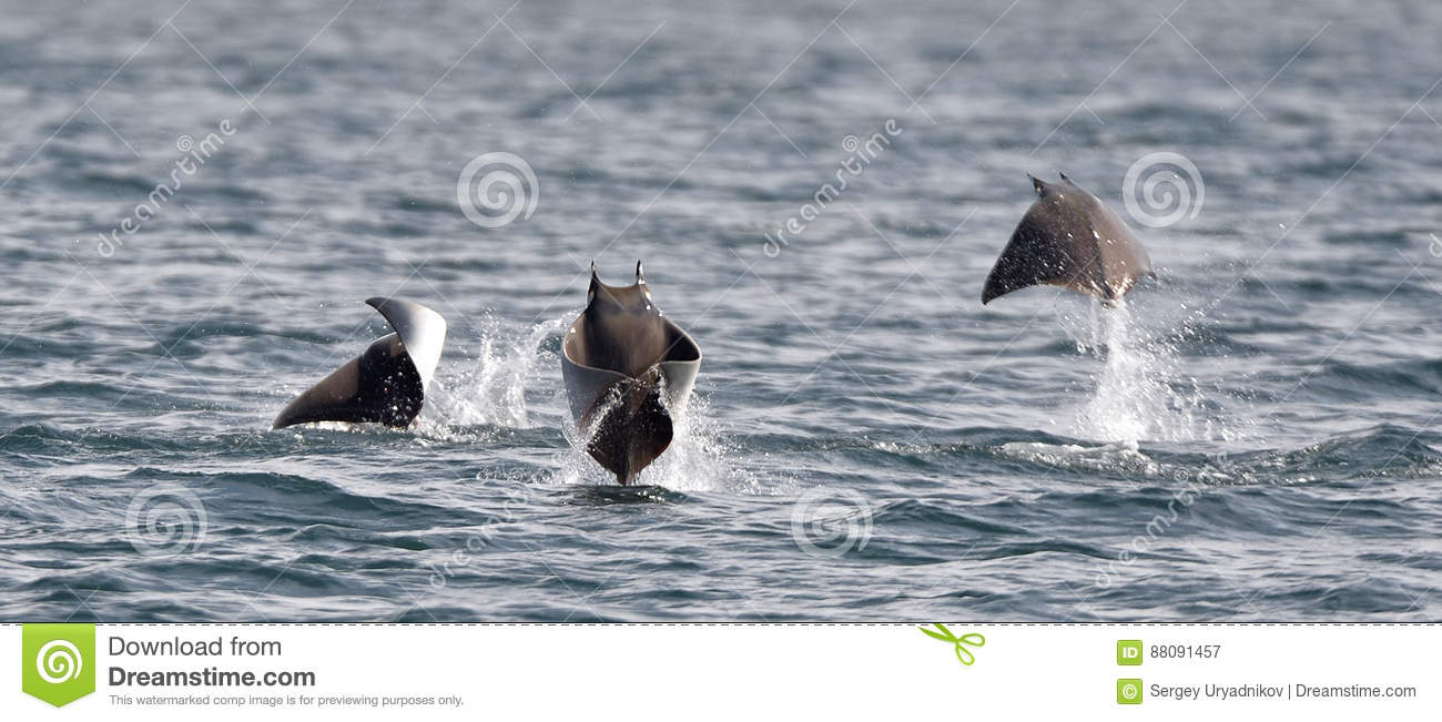 Flying Mobula Ray