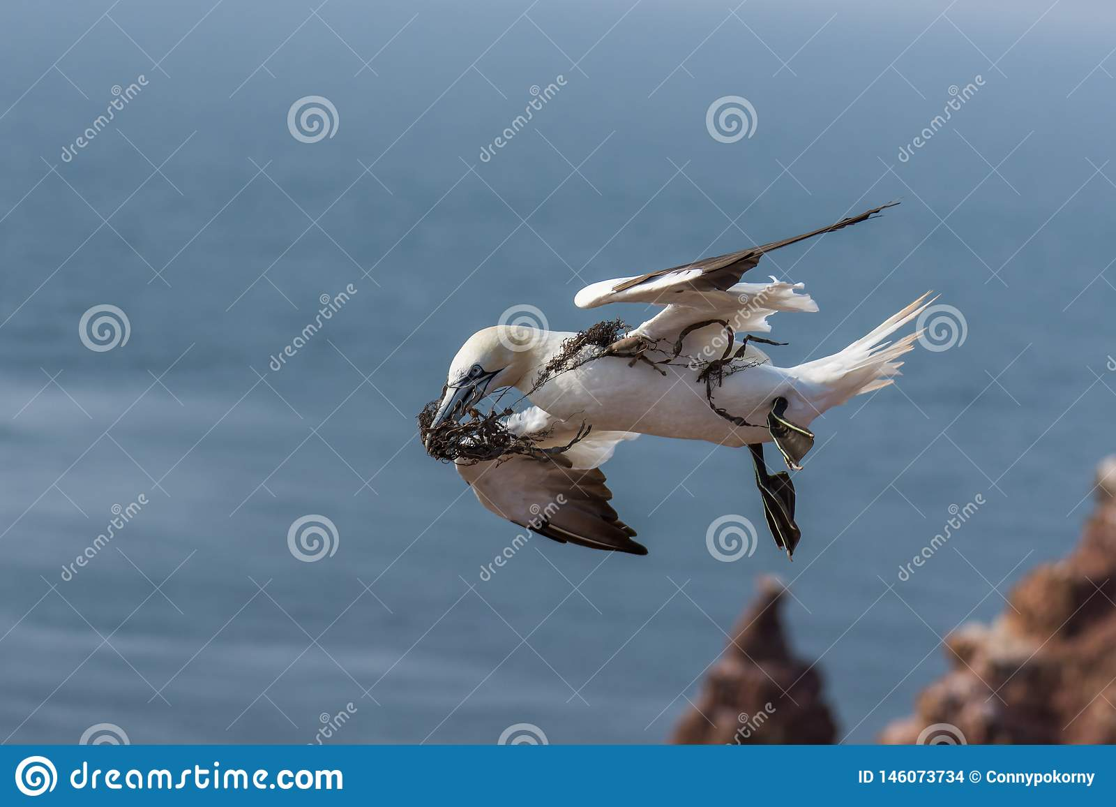 Flying Northern Gannett, Helgoland, Germany