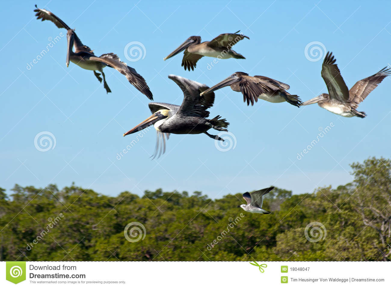 Download Flying pelicans stock image. Image of north, swimming - 18048047