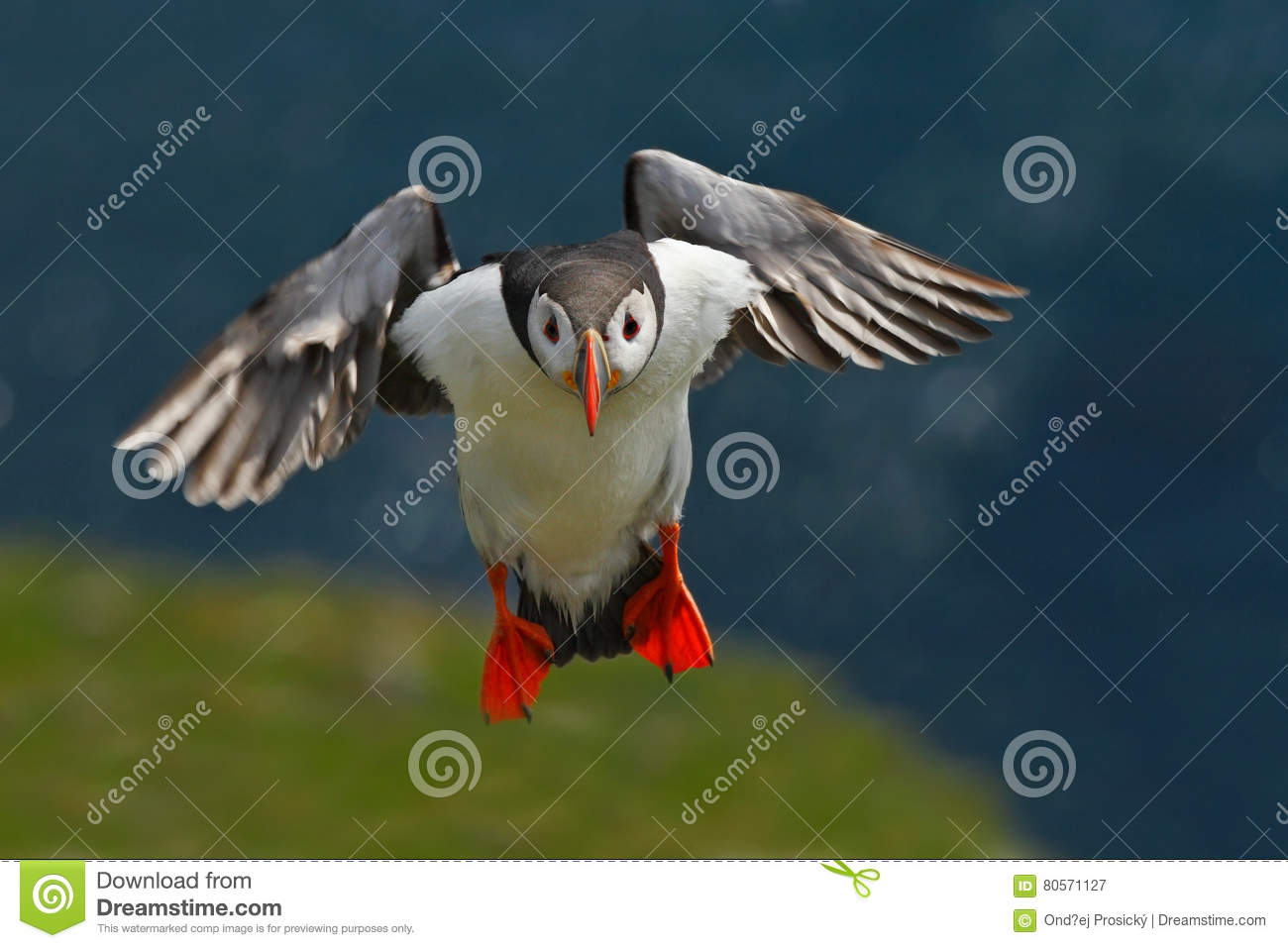 Flying puffin. Cute bird on the rock cliff. Atlantic Puffin, Fratercula artica, artic black and white cute bird with red bill