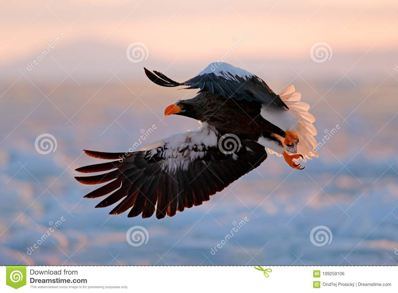 Flying rare eagle. Stellerl`s sea eagle, Haliaeetus pelagicus, flying bird of prey, with blue sky in background, Hokkaido, Japan.
