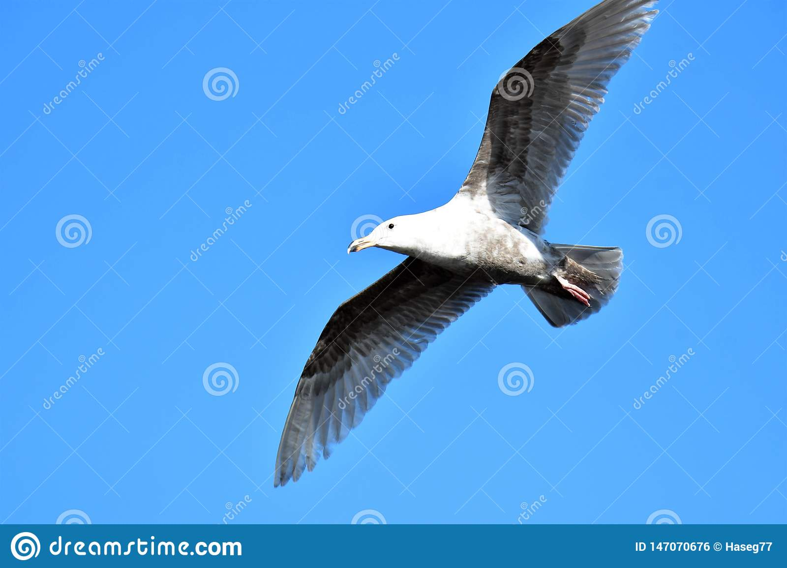 A flying seagull  in the sky.     Closeup