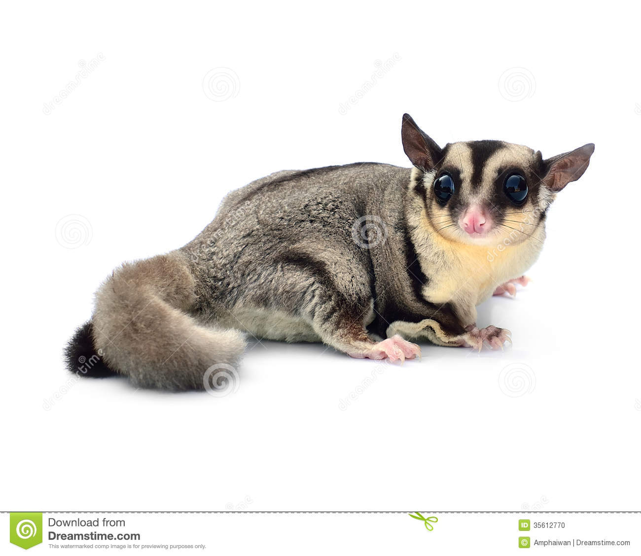 Flying Squirrel, Sugarglider Stock Photo - Image: 35612770