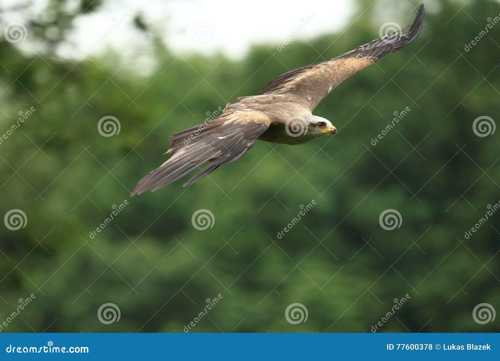 Flying steppe eagle