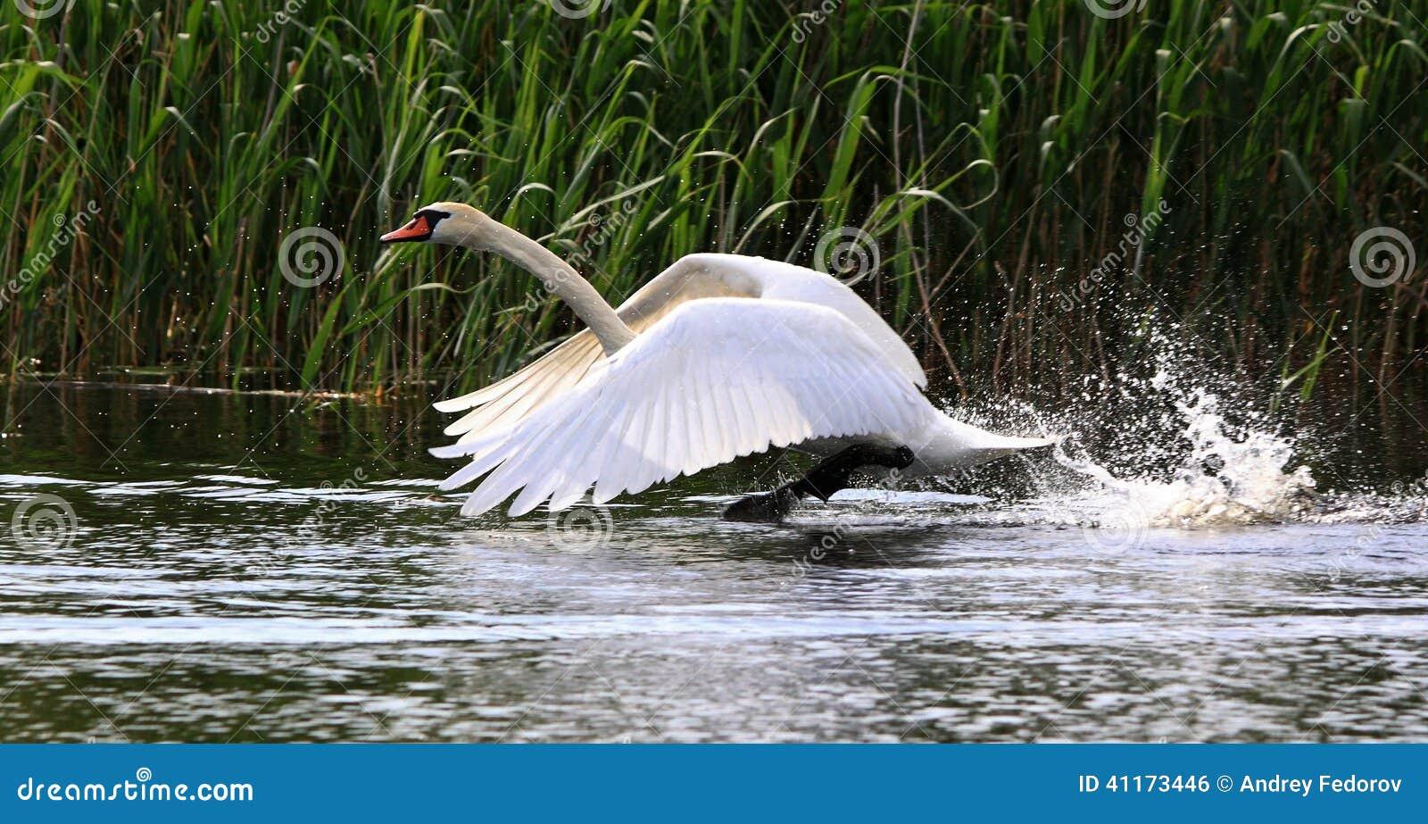 Flying Swan Stock Photo - Image: 41173446