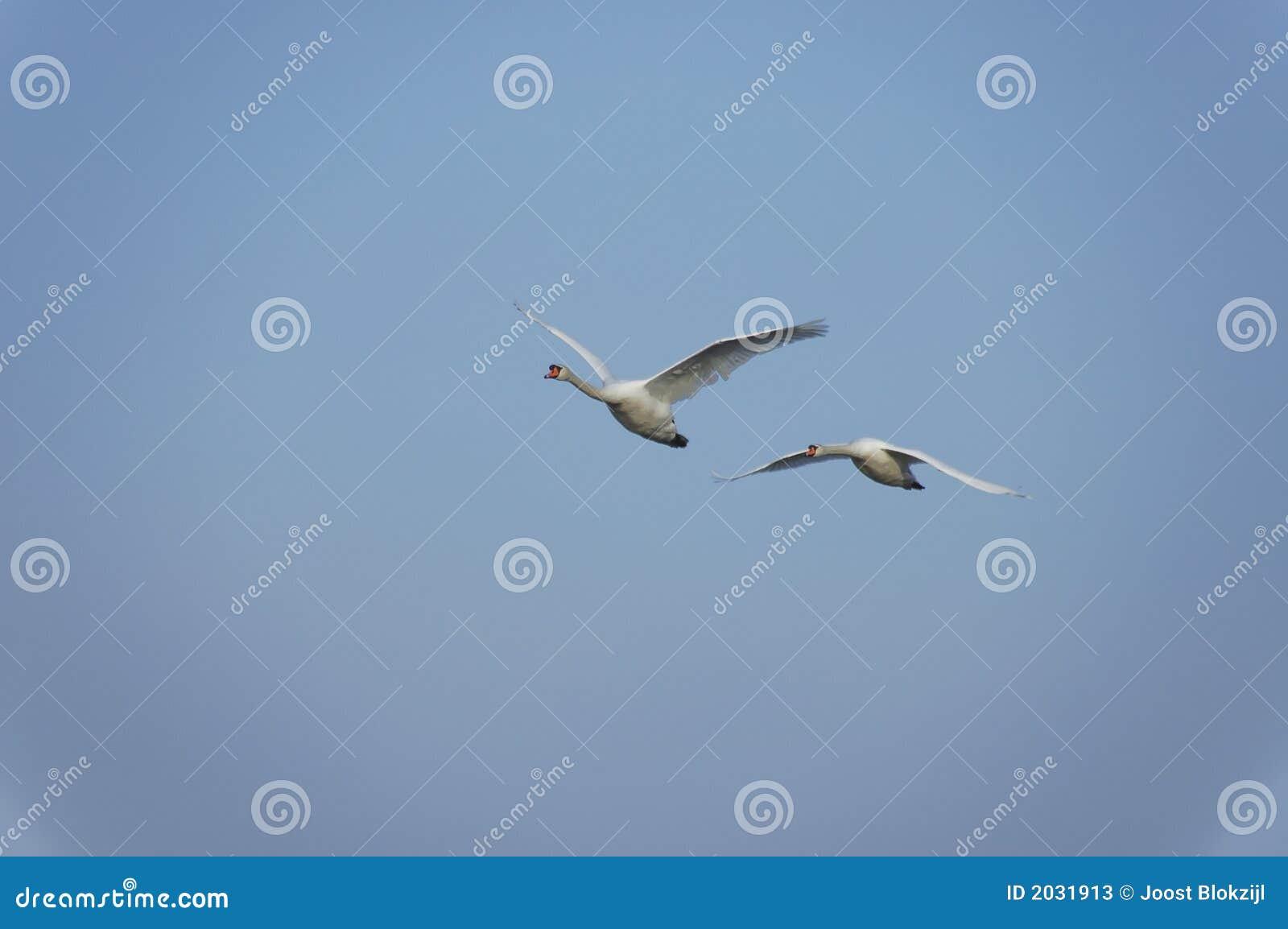 Flying swans