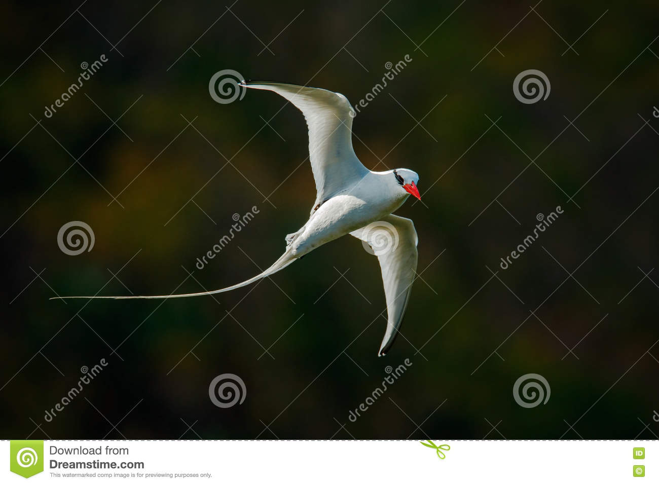 Flying Tropicbird with green forest background. Red-billed Tropicbird, Phaethon aethereus, rare bird from the Caribbean. White