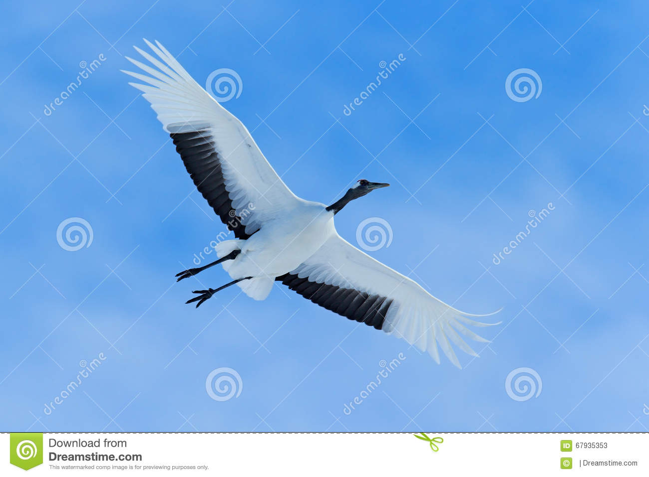 Flying White bird Red-crowned crane, Grus japonensis, with open wing, blue sky with white clouds in background, Hokkaido, Japan
