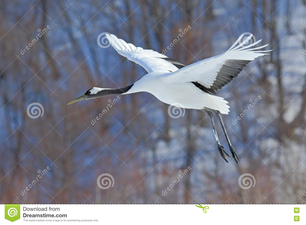 Flying White bird Red-crowned crane, Grus japonensis, with open wing, with snow storm, forest habitat in the background
