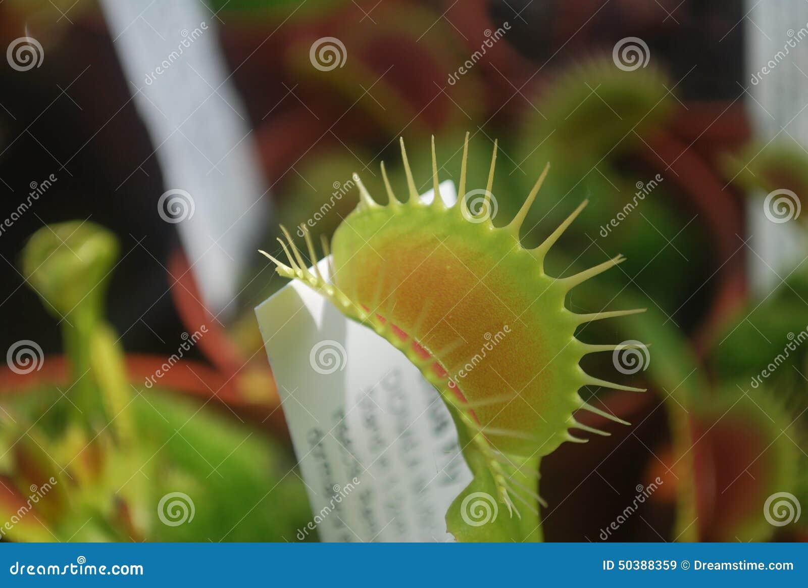 Flytrap της Αφροδίτης