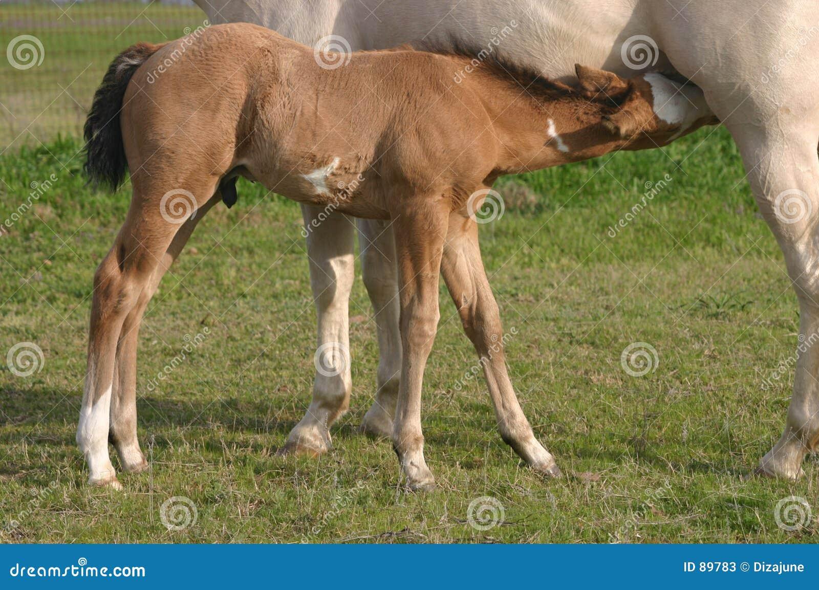 Foal περιποίηση