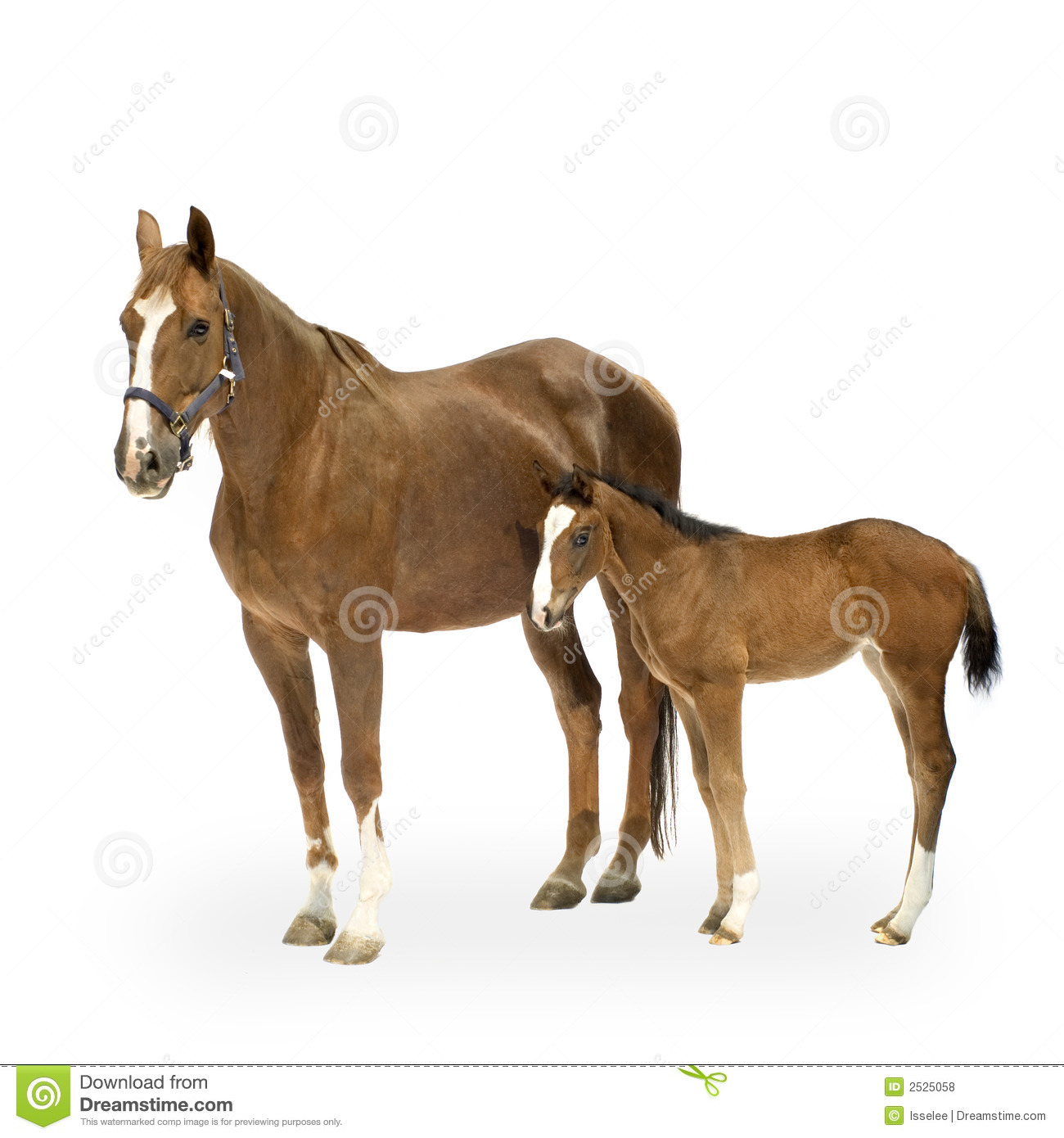 Shot Of A Mare With Her Foal In Front White Background