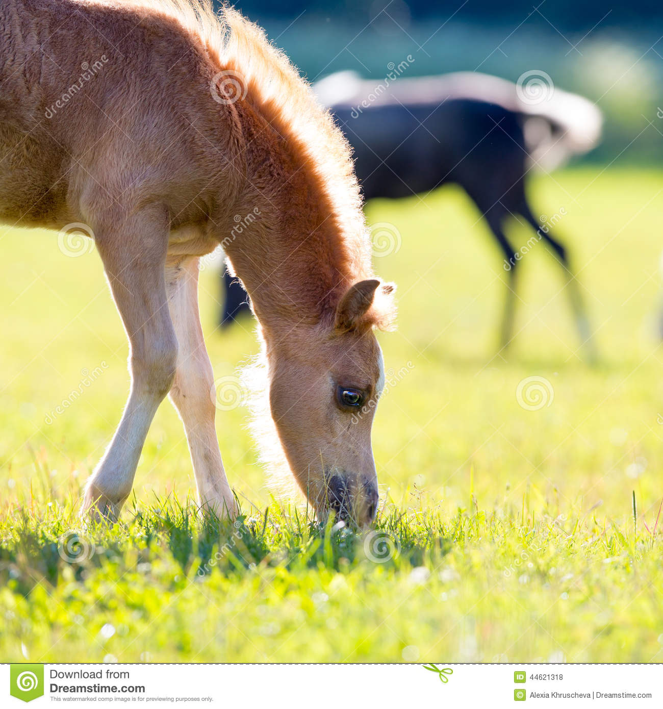Foal of a horse eating grass