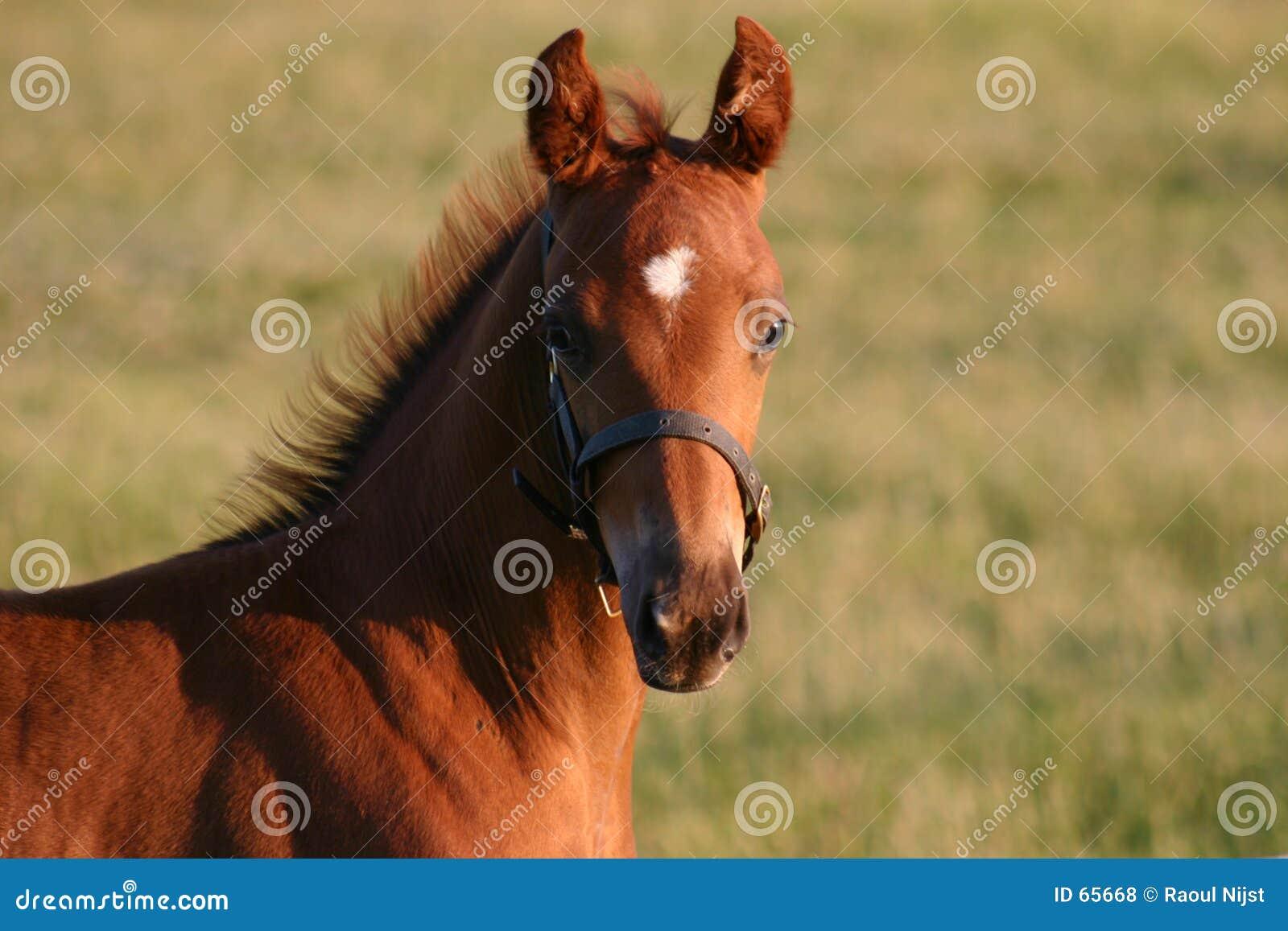 Foal Raoul