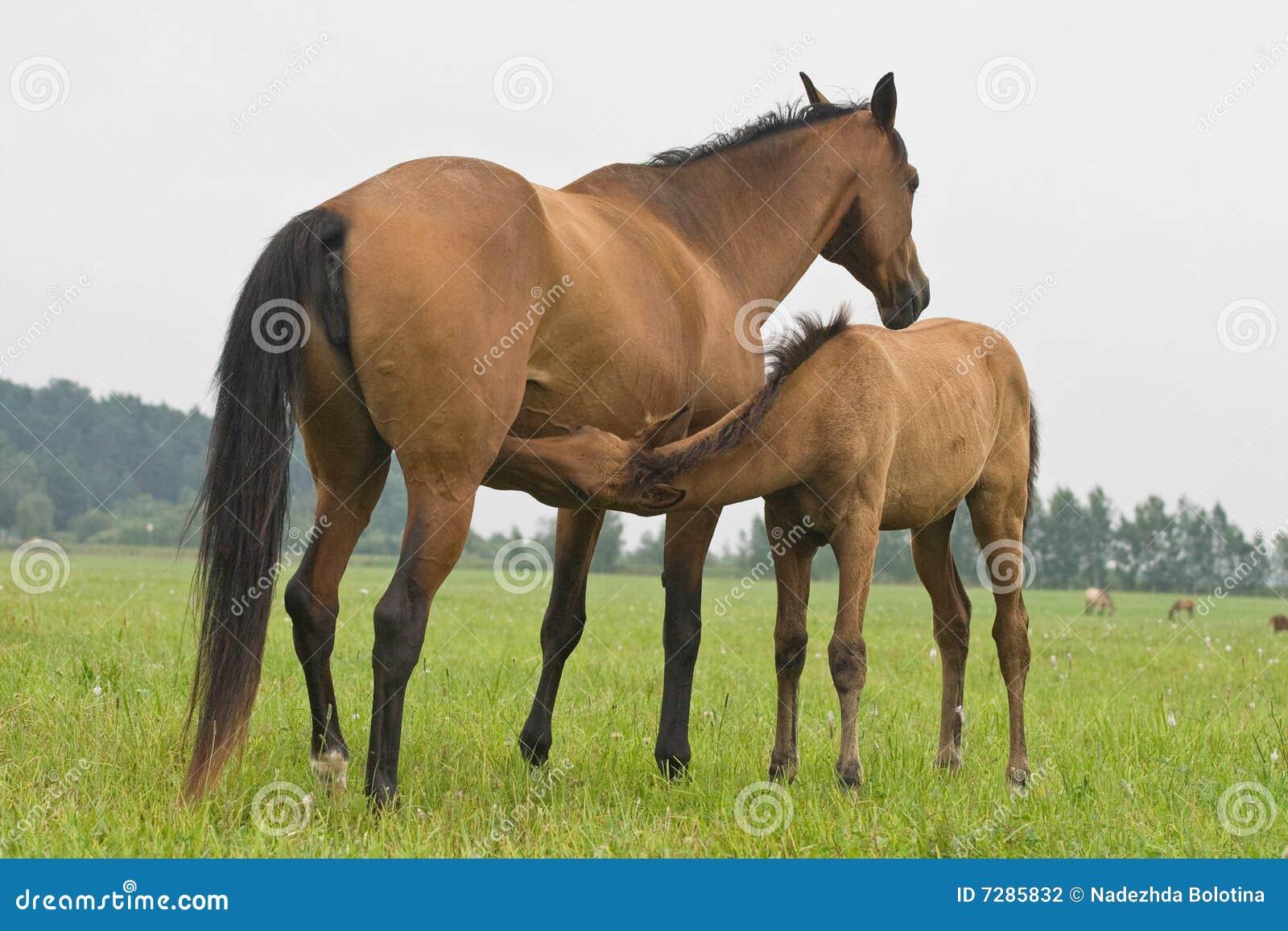 Foal suckling his mother