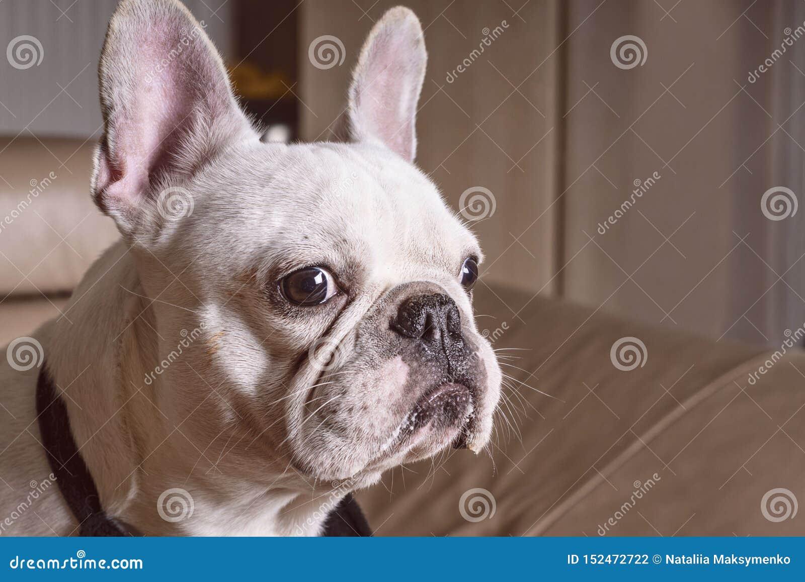 Focinho de um fim branco do buldogue acima, opini?o do close-up o cachorrinho ador?vel do buldogue franc?s