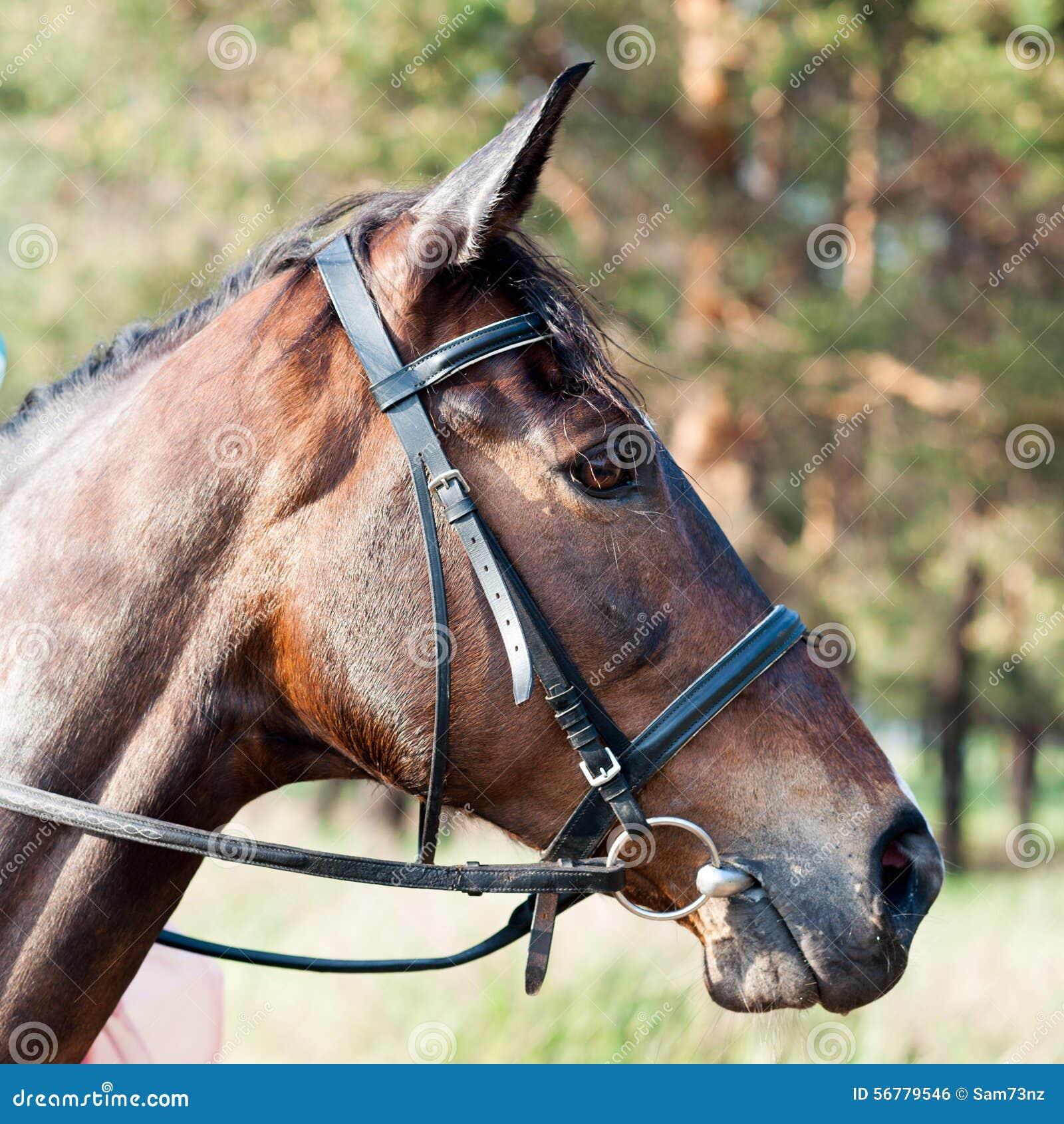 Focinho Do Cavalo Marrom Foto De Stock. Imagem De Fazenda