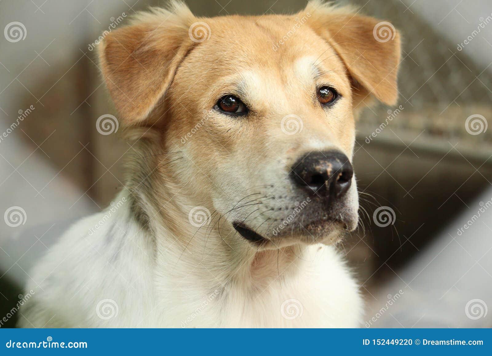 Focinho principal ascendente próximo do cão tailandês novo bonito exterior