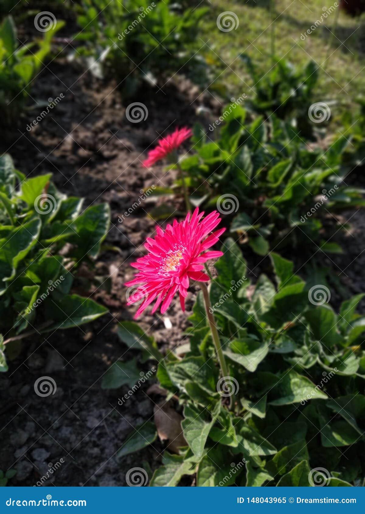 Foco cor-de-rosa da flor que mostram como o mich bonito isso é
