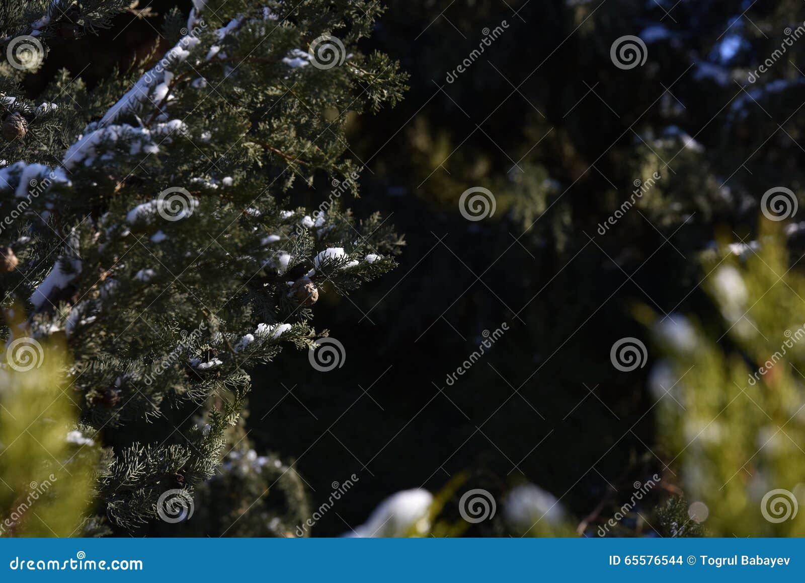 Foco curto da árvore de Cypress