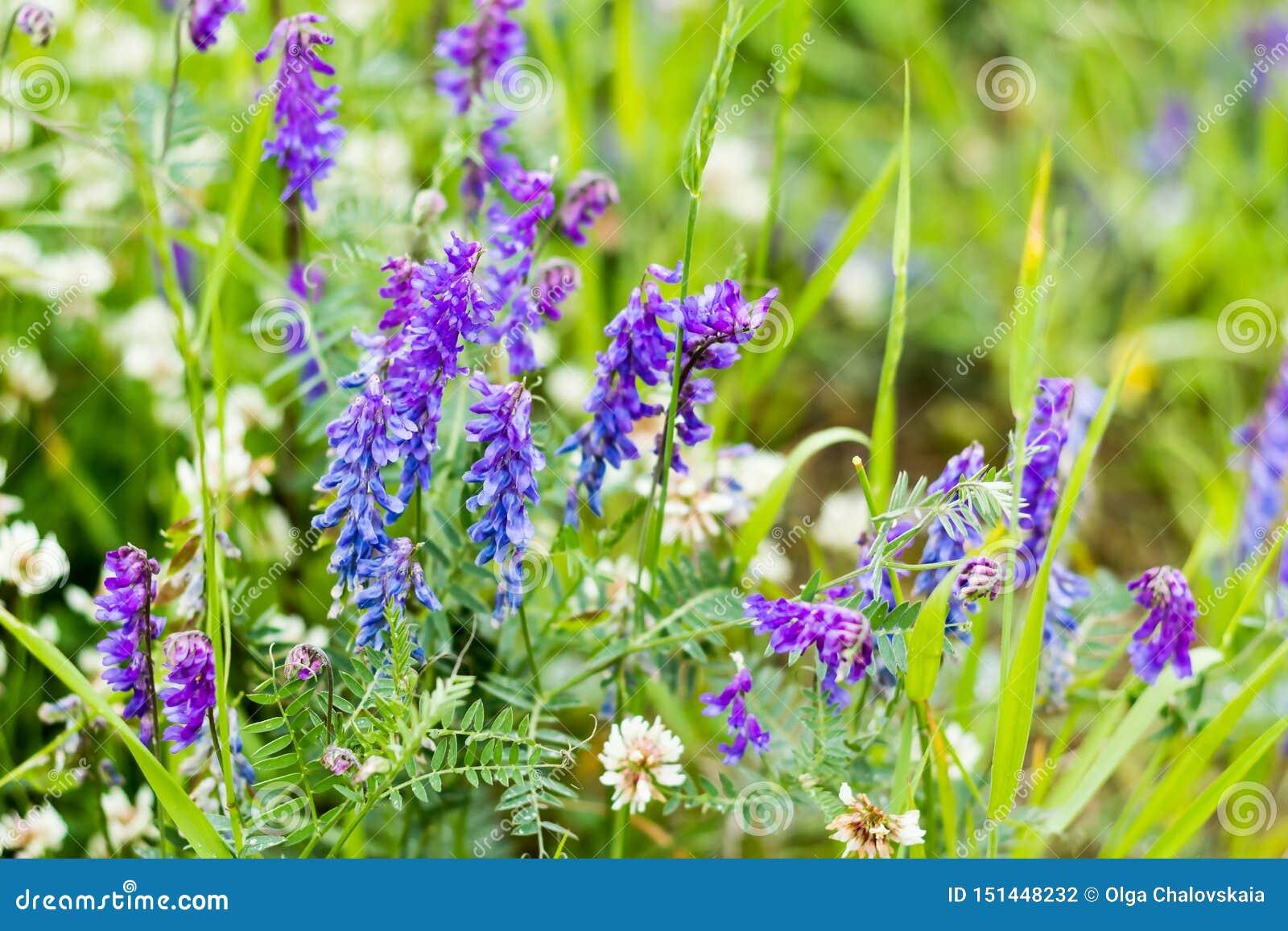 Foco selectivo, fondo hermoso de las flores salvajes de la lila en un fondo borroso de la hierba verde Wildflowers, hierbas de pr