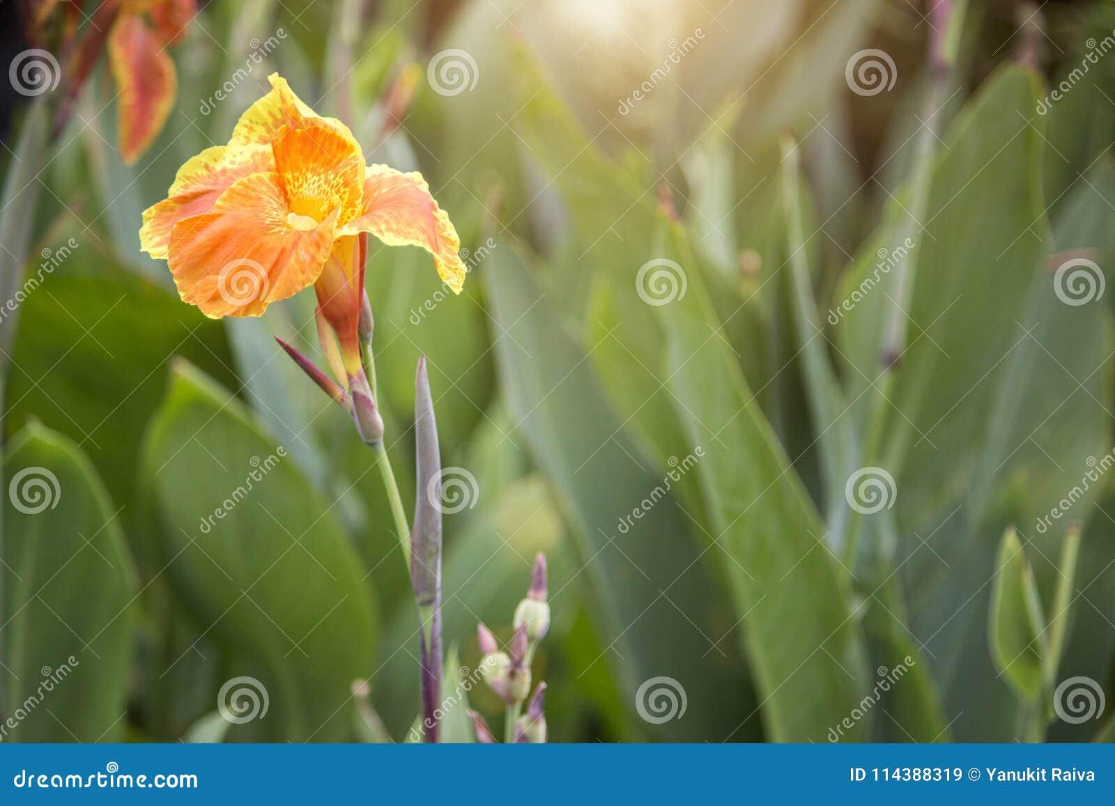 Focus Yellow Canna Flower On Garden In Morning Light Stock Image