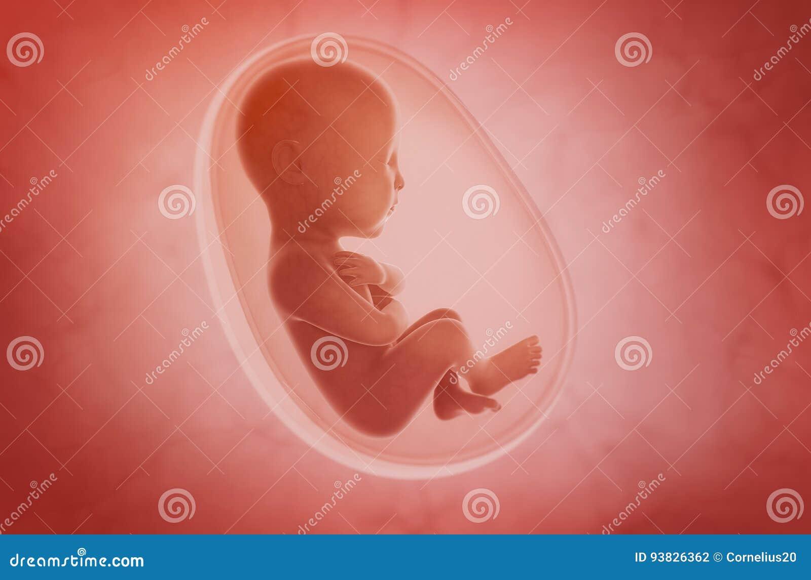 Foetus à l intérieur de l utérus