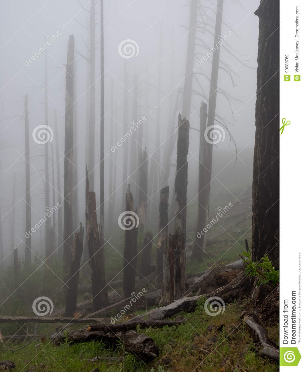 Fog in a burnt forest