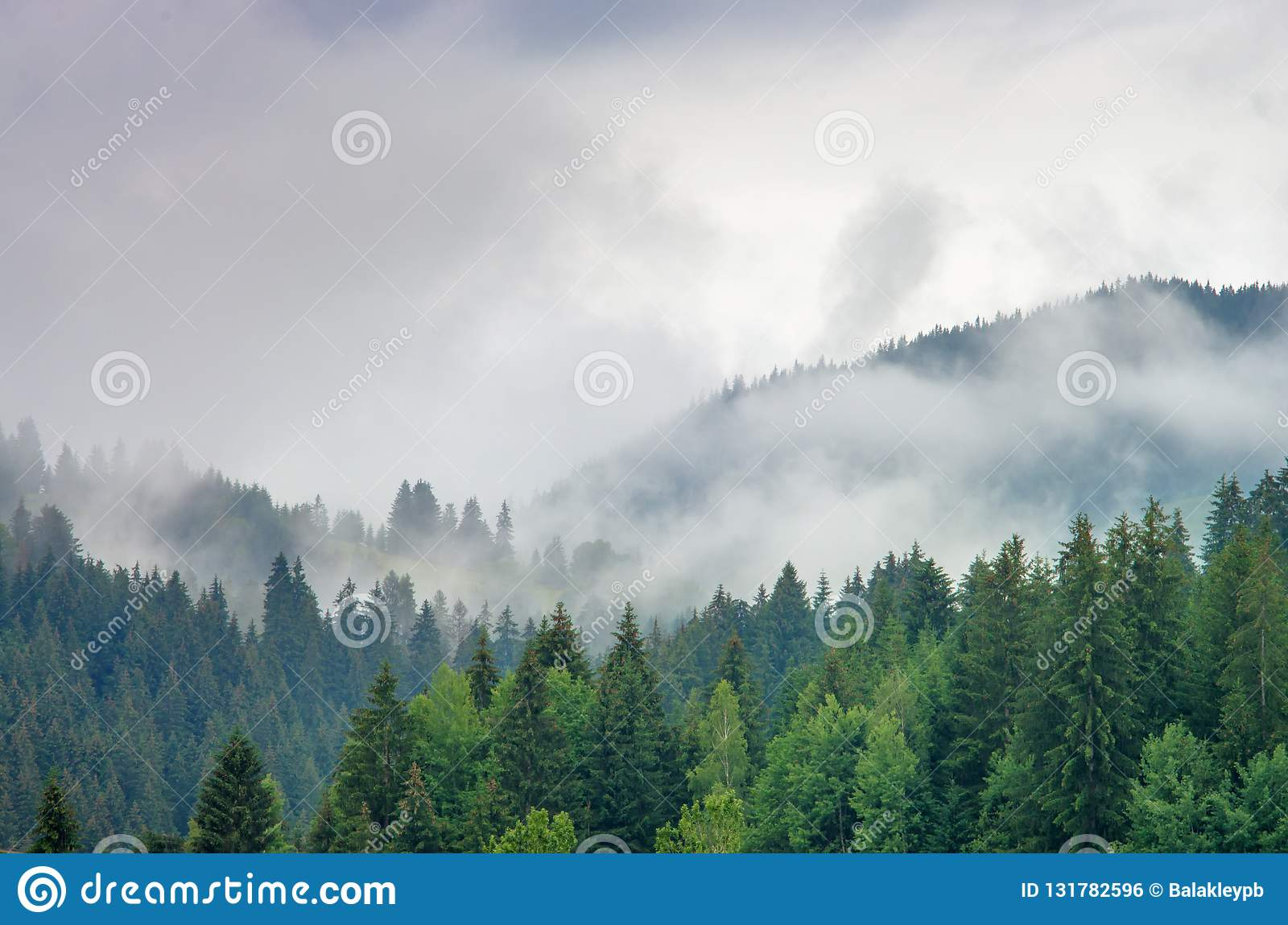 Fog in the forest of pine trees in the mountains