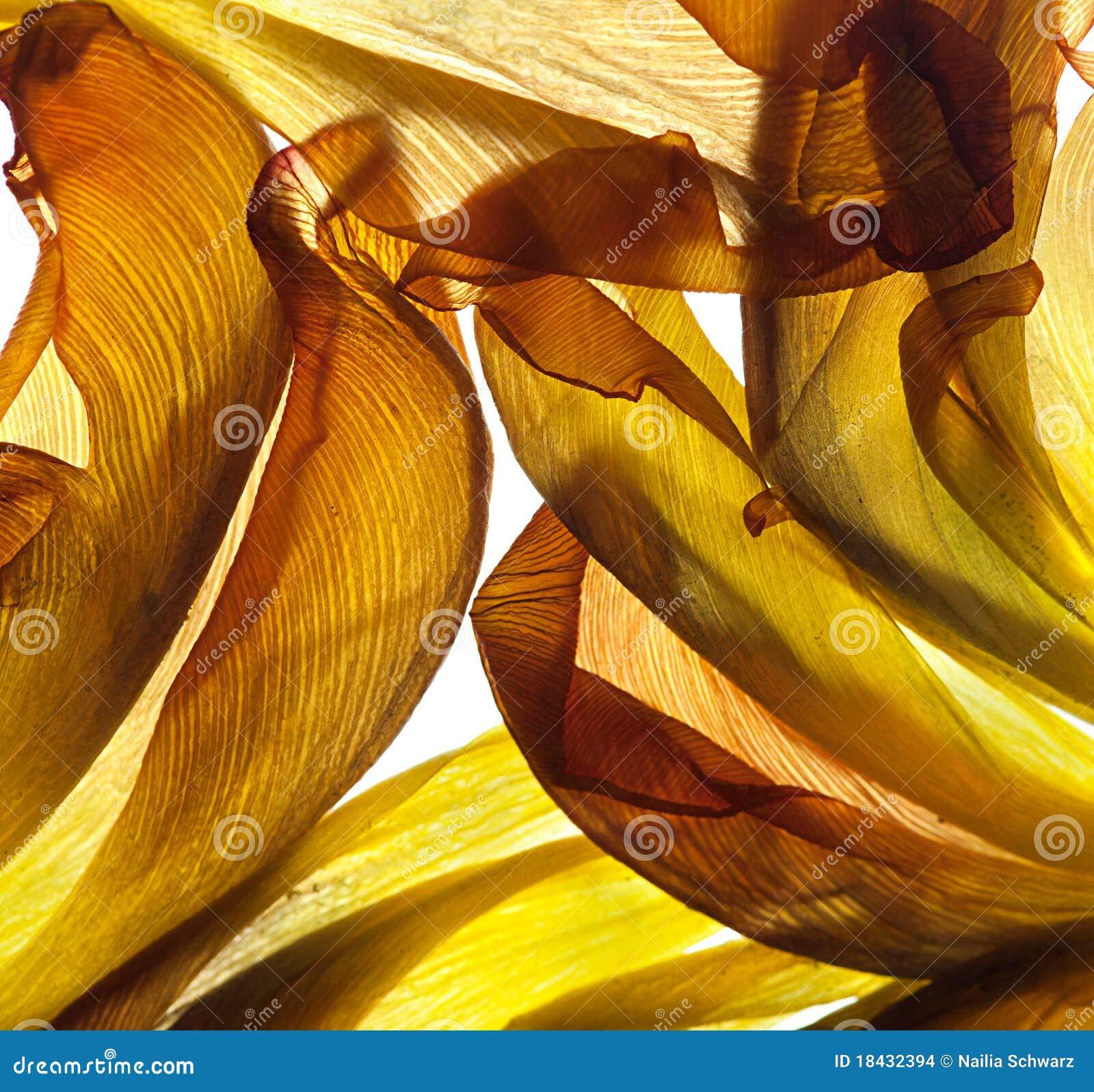 Fogli del tulipano