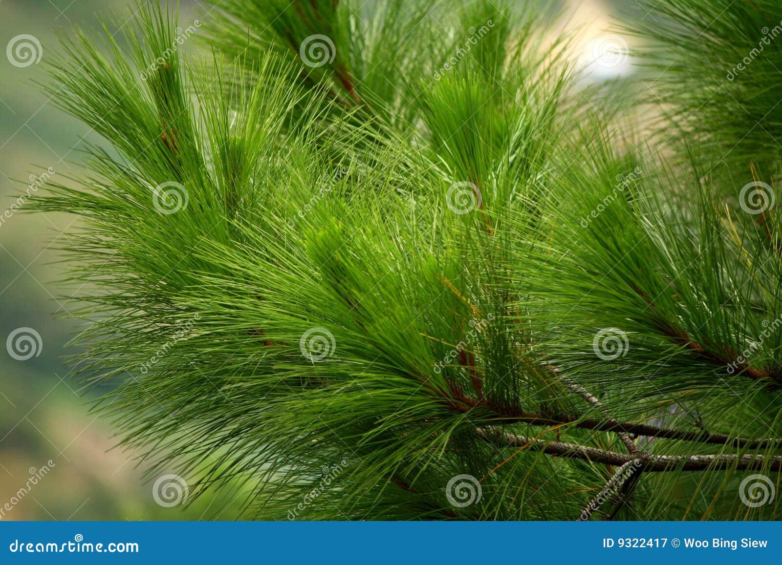 Fogli dell albero di pino