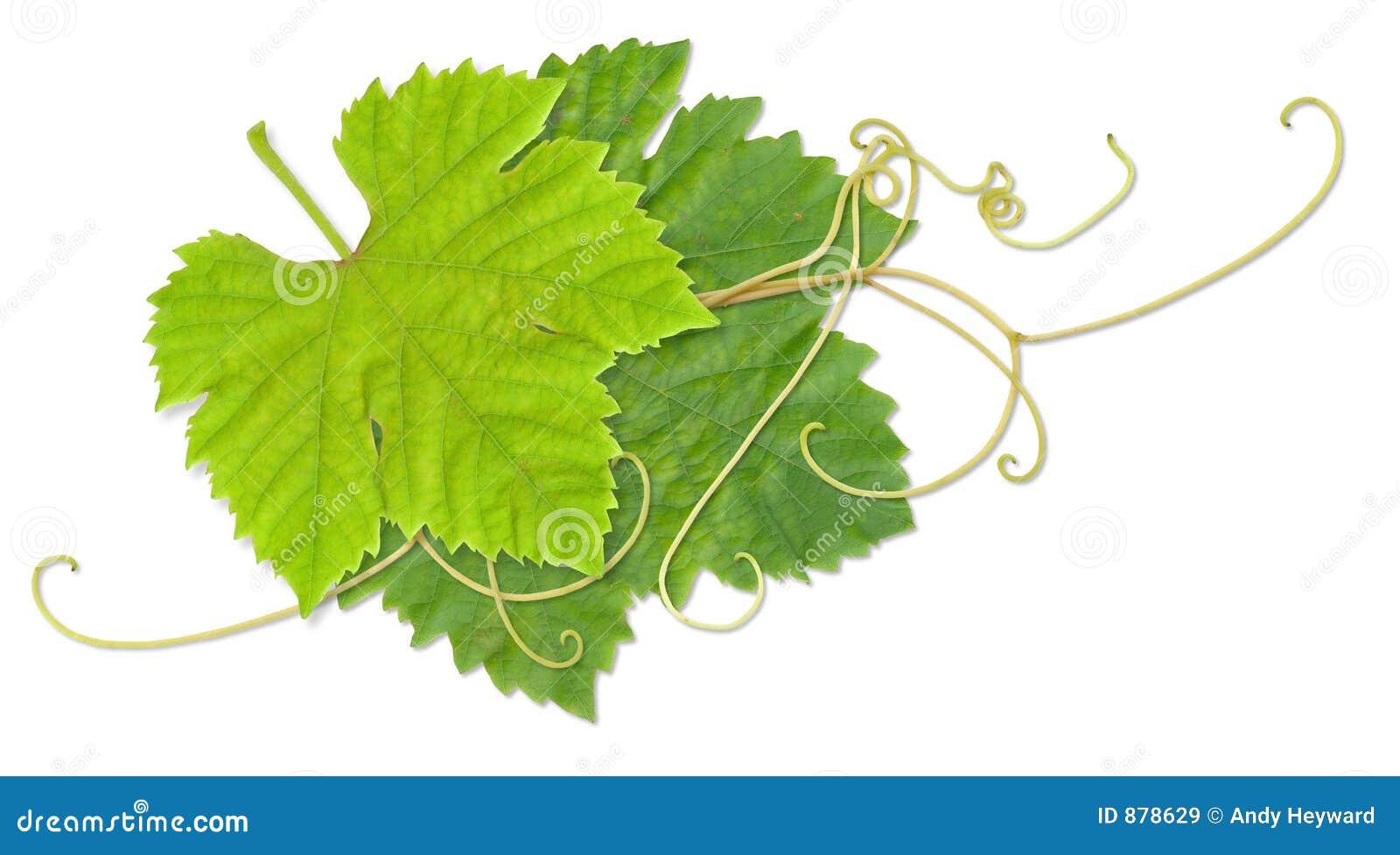 Fogli dell uva